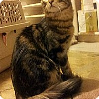 Adopt A Pet :: Ringo - Chandler, AZ