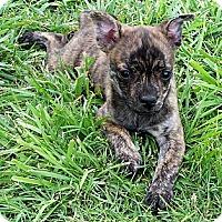 Adopt A Pet :: Brody - San Angelo, TX