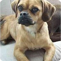 Adopt A Pet :: Pugsly - Wakefield, RI