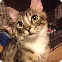 Domestic Mediumhair Cat for adoption in O'Fallon, Missouri - Dobby