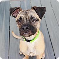 Adopt A Pet :: Sirius - Smyrna, GA