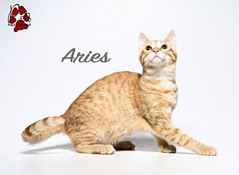 Bengal Cat for adoption in Laconia, Indiana - Aries