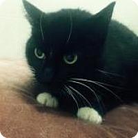 Domestic Shorthair Cat for adoption in Monona, Wisconsin - Minka