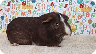 Guinea Pig for adoption in Aurora, Colorado - Coco