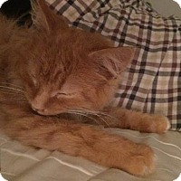 Domestic Longhair Cat for adoption in Baltimore, Maryland - Ann Margaret