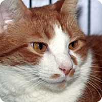 Domestic Shorthair Cat for adoption in Columbus, Ohio - Lanie