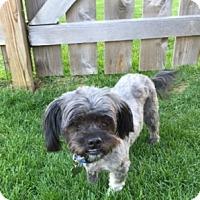 Adopt A Pet :: Belle - Beavercreek, OH