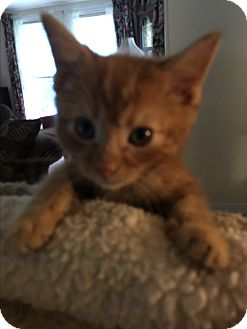 Domestic Shorthair Kitten for adoption in millville, New Jersey - Popsicle