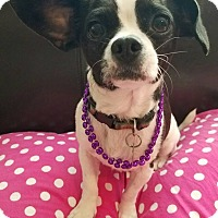 Adopt A Pet :: Charlee Girl - San Diego, CA