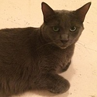 Domestic Shorthair Cat for adoption in Montreal, Quebec - Timothy