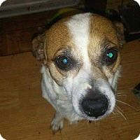 Jack Russell Terrier/Chihuahua Mix Dog for adoption in Wyanet, Illinois - Gizmo
