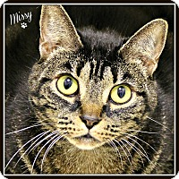 Domestic Shorthair Cat for adoption in Dunkirk, New York - Missy