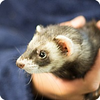 Adopt A Pet :: Ratatasker - Balch Springs, TX