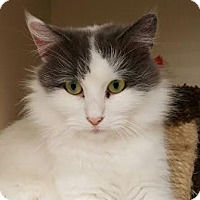 Domestic Mediumhair Cat for adoption in Walworth, New York - Ronnie