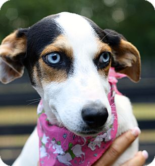 Beagle/Jack Russell Terrier Mix Puppy for adoption in West Grove, Pennsylvania - Cici
