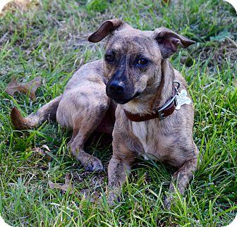 Rat Terrier Mix Dog for adoption in Des Moines, Iowa - Dex