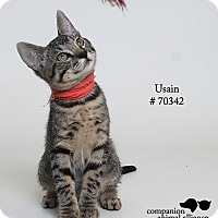 Domestic Shorthair Kitten for adoption in Baton Rouge, Louisiana - Usain  (Foster Care)