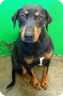 Doberman Pinscher Mix Dog for adoption in Redding, California - Chevy