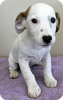 Jack Russell Terrier/Beagle Mix Puppy for adoption in Gahanna, Ohio - ADOPTED!!!   Willie