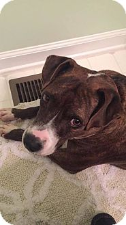 Plott Hound/Boxer Mix Dog for adoption in Youngsville, North Carolina - Iris ~ Sponsored ~ Reduced Adoption Fee~