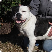 Bulldog Mix Dog for adoption in Windsor, Virginia - Hogan