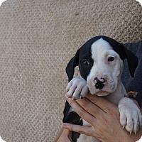 Adopt A Pet :: Chaya - Oviedo, FL