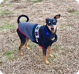 Miniature Pinscher Mix Dog for adoption in Columbia, Tennessee - Chance