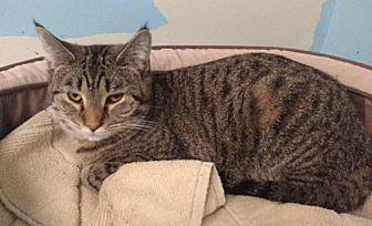 Domestic Shorthair Kitten for adoption in mishawaka, Indiana - Stripe