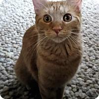 Adopt A Pet :: Nutella - Duluth, GA