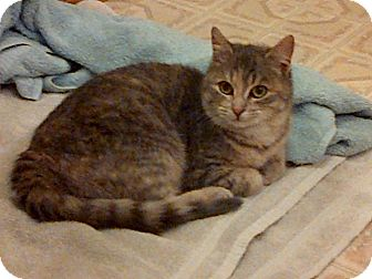Domestic Shorthair Cat for adoption in Douglas, Ontario - Stormy