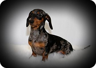 Dachshund Mix Dog for adoption in Toronto, Ontario - Taz