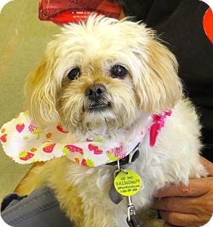 Pekingese/Poodle (Miniature) Mix Dog for adoption in Scottsdale, Arizona - Penny