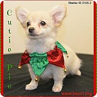 Adopt A Pet :: Cutie Pie - Plano, TX