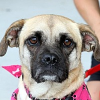 Pug Mix Dog for adoption in Winder, Georgia - Puddin