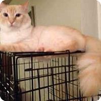 Siamese Cat for adoption in Alamo, California - Leo