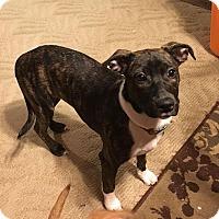 Adopt A Pet :: Velvet - Huntsville, TN