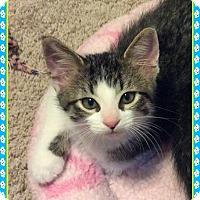 Adopt A Pet :: Bartholomew - Mt. Prospect, IL