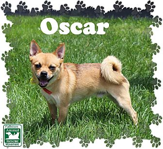 Chihuahua Mix Dog for adoption in Fallston, Maryland - Oscar