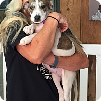 Adopt A Pet :: Janis - Thousand Oaks, CA