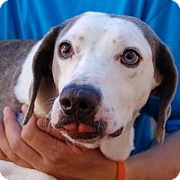 Beagle/Whippet Mix Dog for adoption in Las Vegas, Nevada - Harris