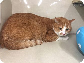 Domestic Shorthair Cat for adoption in Glendale, Arizona - Red
