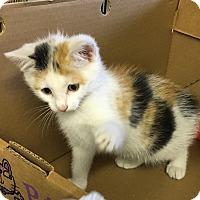 Domestic Shorthair Kitten for adoption in Butner, North Carolina - Twinkle