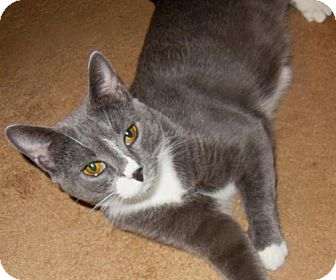 Domestic Shorthair Cat for adoption in East Brunswick, New Jersey - Genevieve