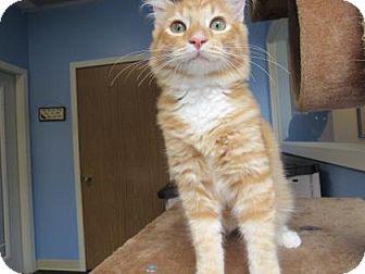 Domestic Shorthair Cat for adoption in Northfield, Minnesota - Freddie