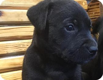Labrador Retriever Mix Puppy for adoption in Kaufman, Texas - Lollie