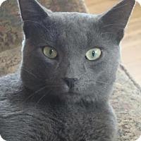 Domestic Shorthair Cat for adoption in Rochester, Minnesota - Apple Jack