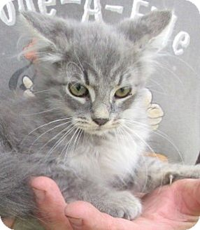 Maine Coon Kitten for adoption in Germantown, Maryland - Henry