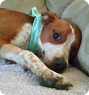 Beagle/English Springer Spaniel Mix Puppy for adoption in PARSIPPANY, New Jersey - SCOUT