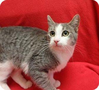 Domestic Shorthair Kitten for adoption in Apple Valley, California - Lexi #161674