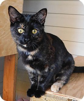 Domestic Shorthair Kitten for adoption in Hedgesville, West Virginia - Mia